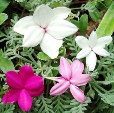 dankbare sommer kletterpflanze